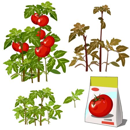 Set of stages of life of a agricultural plant red tomato isolated on white background. Paper packaging for storage of seeds. Vector cartoon close-up illustration