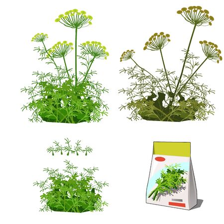 Set of stages of life of a agricultural plant dill isolated on white background. Paper packaging for storage of seeds. Vector cartoon close-up illustration