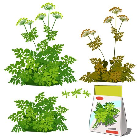 Set of stages of life of a agricultural plant parsley isolated on white background. Paper packaging for storage of seeds. Vector cartoon close-up illustration 向量圖像