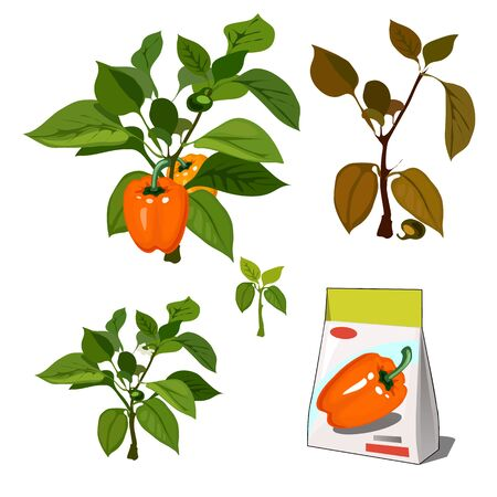 Set of stages of life of a agricultural plant sweet bell peppers isolated on white background. Paper packaging for storage of seeds. Vector cartoon close-up illustration.
