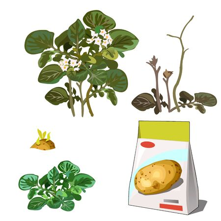 Set of stages of life of a agricultural plant potatoes isolated on white background. Paper packaging for storage of seeds. Vector cartoon close-up illustration.
