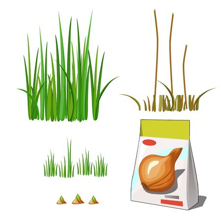 Set of stages of life of a agricultural plant green onion isolated on white background. Paper packaging for storage of seeds. Vector cartoon close-up illustration.