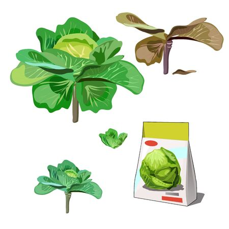Set of stages of life of a agricultural plant cabbage isolated on white