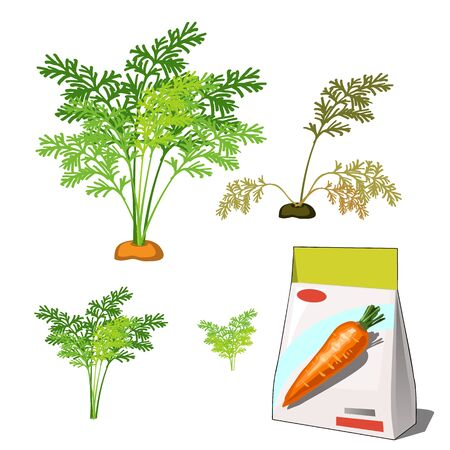 Set of stages of life of a agricultural plant red carrot isolated on white