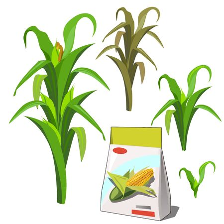 Set of stages of life of a agricultural plant corn isolated on white background. Paper packaging for storage of seeds. Vector cartoon close-up illustration