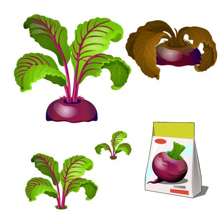 Set of stages of life of a agricultural plant beet isolated on white background. Paper packaging for storage of seeds. Vector cartoon close-up illustration