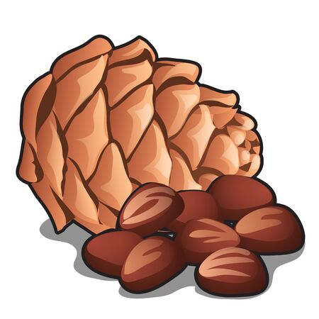 Cedar pine cone with nuts isolated on white 版權商用圖片 - 142532473