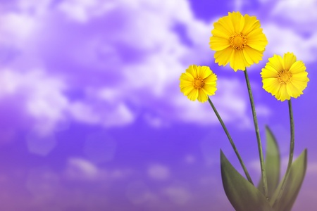Beautiful live coreopsis on sunny day with empty on cloudy sky background.