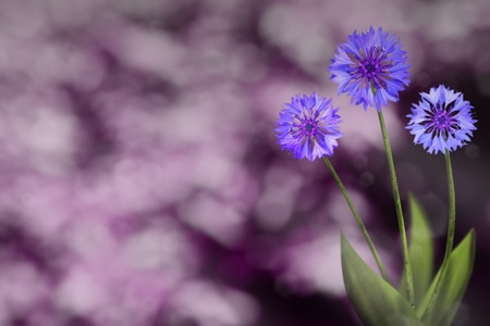Beautiful live cornflower or knapweed flowers on sunny day with empty on park trees and sky blurred background.