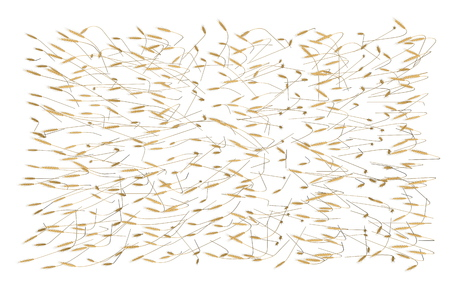 modern fragment of wheat spica field isolated on white background - agriculture, top view industrial 3D illustration