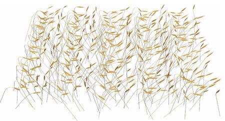 Top - side view industrial 3D illustration of the rendered bundle of wheat spica field isolated on white background - agriculture