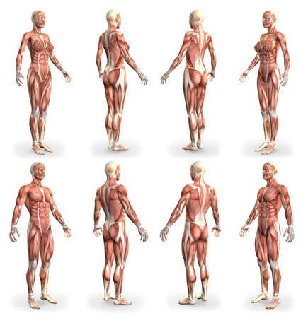 8 hi-res images in 1, male and female bodies with muscle map - physiology concept for healthcare - cg medical 3D illustration isolated on white