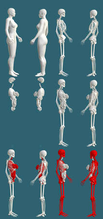 12 detailed renders in 1, womans body with skeleton and organs - anatomical examination concept - creative medical 3D illustration isolated