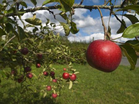 Plusieurs pommes rouges suspendus sur l'arbre. Focus sur le premier plan.
