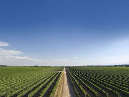 Large vineyard is cut by a road in the middle. Stock Photo