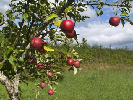 arbol de manzanas: Varias manzanas rojas colgando en el �rbol. Se centran en primer plano.