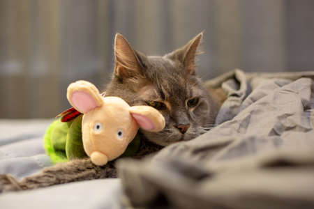 Old grey cat covered by blanket snuggling toy mouse in bed