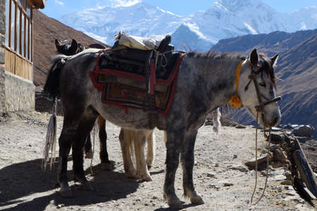 The Nepal mountain horse is high in the mountains, under the saddle and in the bridle.