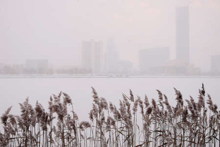 Reed in the snow on the bank of a city pond