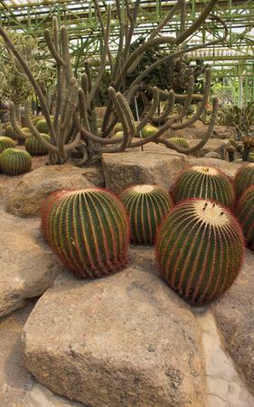 cactus on the white background photo