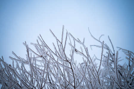 wintering: Winter background with brunches in blue