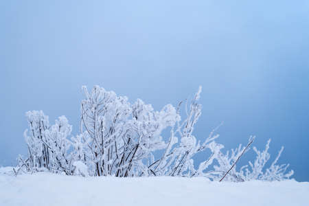 wintering: Winter background with bushes in blue Stock Photo