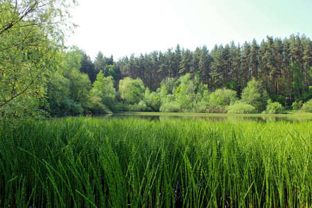 equisetum: Small lake overgrown with shrubs and horsetail Stock Photo