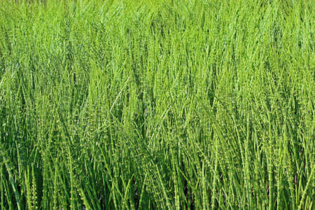 equisetum: Thickets of green horsetail the entire background Stock Photo