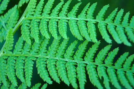 similarity: athyrium green leaves close up