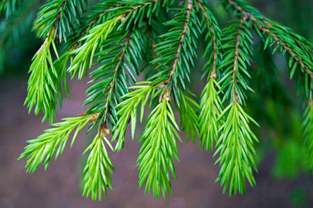picea: young shoots of spruce branches spring