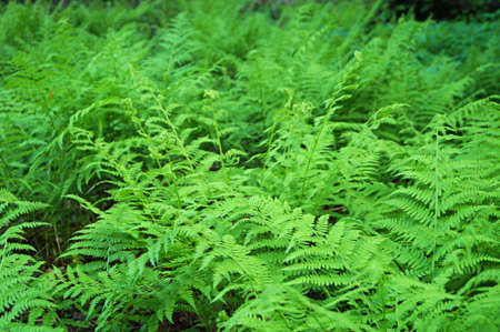thickets: young fern thickets athyrium