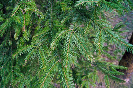 pinaceae: branches and needles of spruce Stock Photo