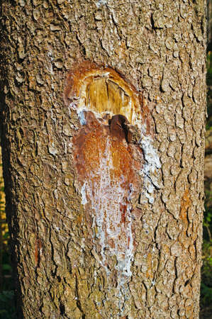 kerf: nick on conifers with the effects of leaking resin