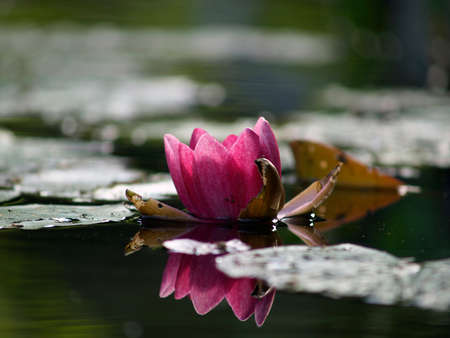 lotos: Rose lotos flower rising above artificial pond surface       Stock Photo