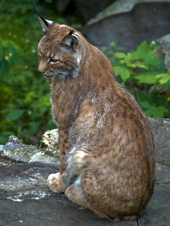 European lynx sitting calm on big stub