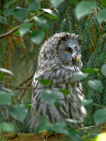 Big gray owl sitting on branch in forest Stock Photo - 1683289