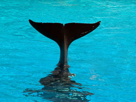 Tail of diving killer whale blue water Stock Photo