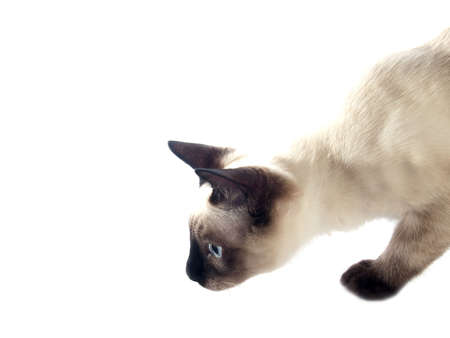 blue siamese: Funny siam kitten hunting on white background