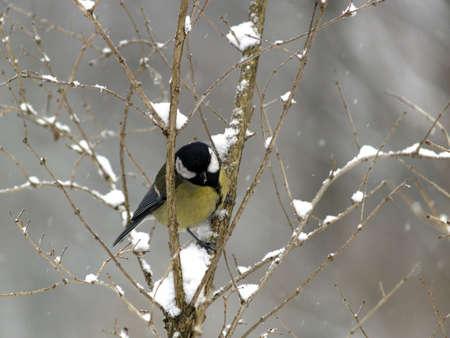 titmouse: Small titmouse bird sitting on twig winter Stock Photo