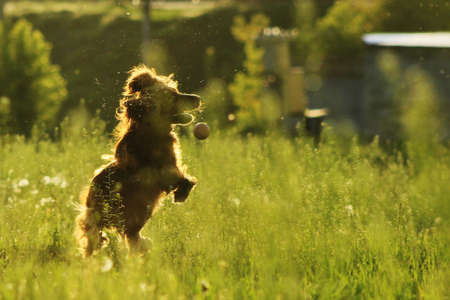 English cocker spaniel dog catching ball photo