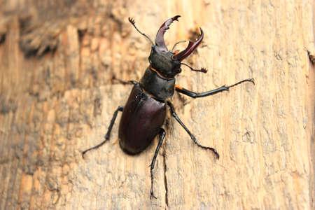 lucanus: Stag Beetle Lucanus Cervus Insect Zoology Bug