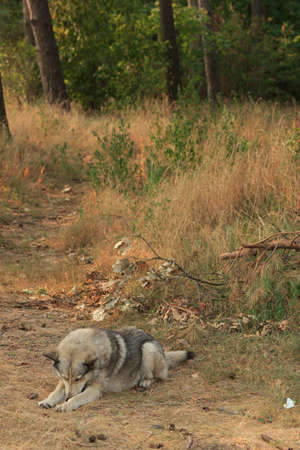 Grey dog sleeping in wood