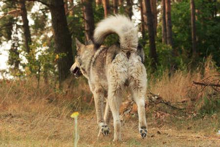 Grey dog running away Stock Photo