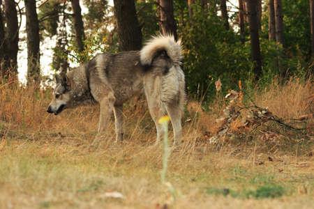 Grey dog in wood