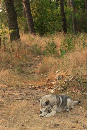 autumn wolf: Grey dog sleeping in wood