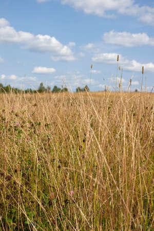 白い雲と青い空の下で黄金の草原があります。 写真素材