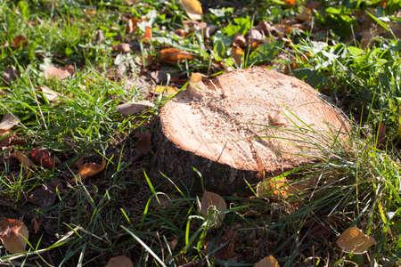 innate: Vi � un ceppo sul prato verde circondato da foglie cadute. Archivio Fotografico