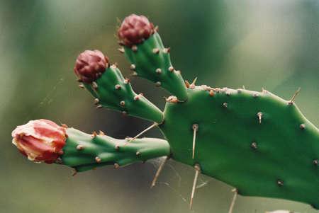 Espinosa planta con gruesos tallos carnosos sin hojas,  Foto de archivo - 8057571