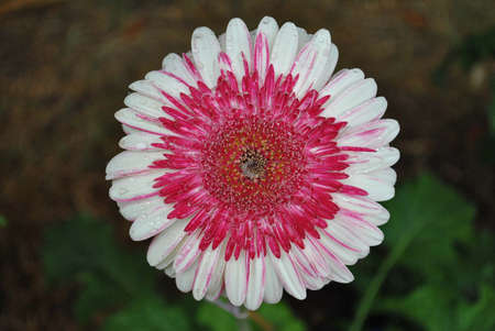 Dark pink and white mixe color flower with rain drops Stock Photo