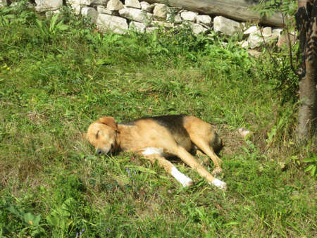 grass plot: Small dog lying on the grass plot